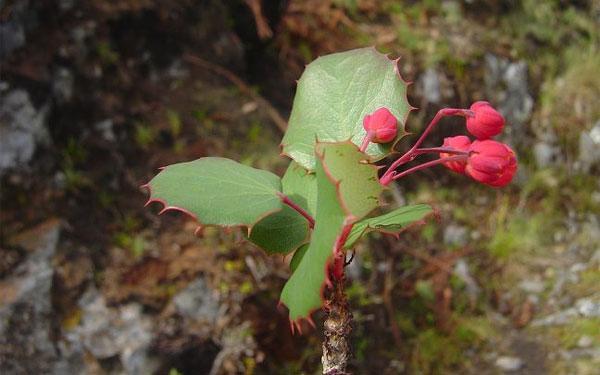 Berberis agapatensis