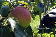 Яблоня «Услада»