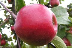 Яблоня «Анис алый» – описание и фото
