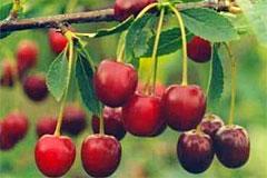 Вишня «Волочаевка»  - самоплодный и очень зимостойкий сорт
