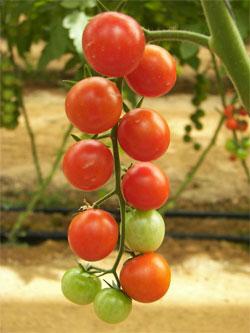 плоды томата Самара  - фото