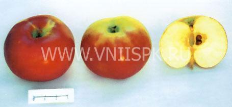 Яблоня Аниса алый (Анис красный) - фото