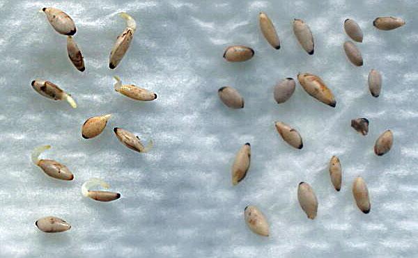 семена клематиса Фори