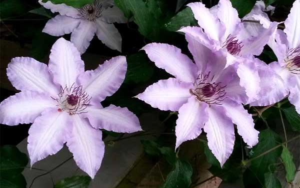 Клематис светло-розового цвета - нуждается в притенке в полдень
