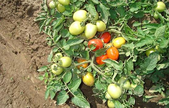 помидор Челнок в открытом грунте