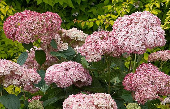 Гортензия Инвизибл Спирит - цветы
