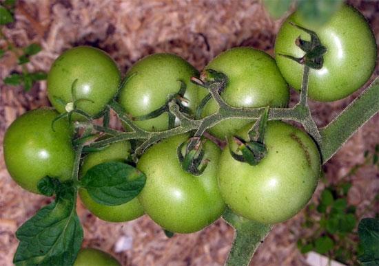 Верлиока томат отзывы