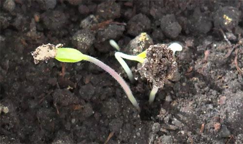 Ростки перца - срок после посева на рассаду - 10...18 дней