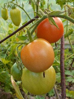 помидоры Самара