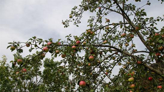 Яблоня мельба описание фото отзывы посадка