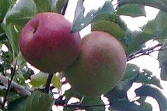 Сорт яблони Жигулевское