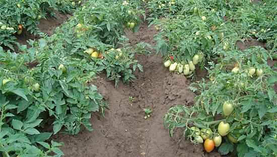 Томат Челнок - выращивание в открытом грунте, отзывы