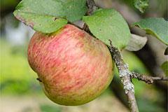 сорт яблони  Мелба -  описание, отзывы и фото