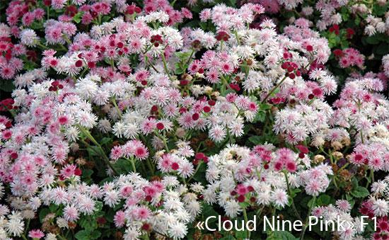 "агератум ""Cloud Nine Pink"" F1"