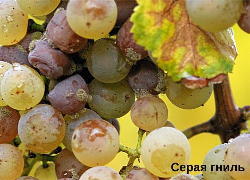Опрыскивание винограда железным купоросом для защиты от серой гнили
