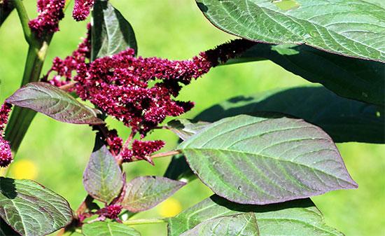 Амаранта цветок фото
