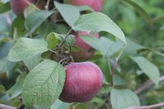 Сорт яблони «Синап орловский» - описание, фото, отзывы садоводов России