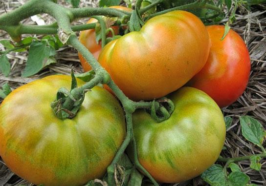Томат {amp}quot;Толстый Джек{amp}quot; - созревающие помидоры
