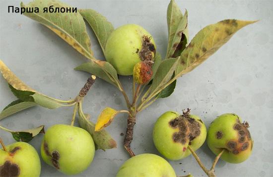 Применение бордосской жидкости в садоводстве для защиты от парши яблони